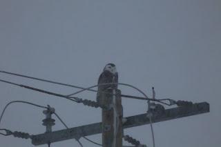 Snowy Owl #6