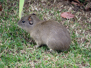 Cavia aperea, Brazilian Guinea Pig