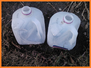 Plastic milk jugs pressed into garden soil