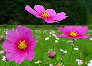 Imágenes de flores y plantas: Cosmos cosmos viverochaclacayo