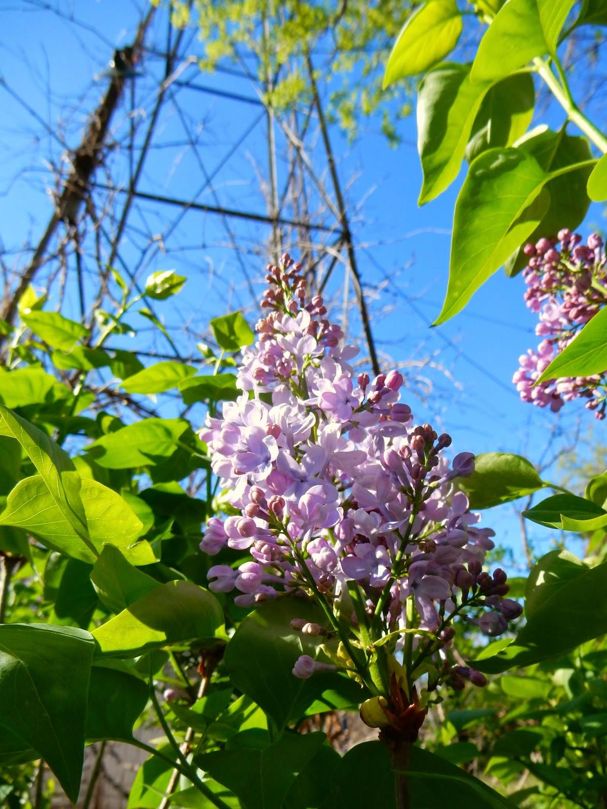 kim u0027s county line lilacs in bloom
