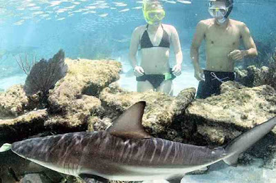 Tourist swmming close to a shark