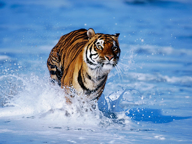 30 Free Tiger Backgrounds Wallpapers HD Download