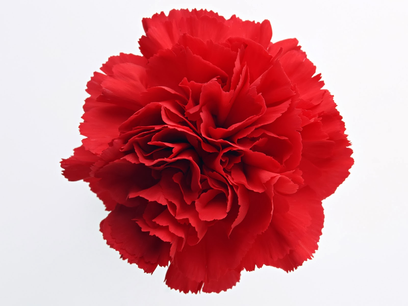 January birth flower carnations dhlflorist Gallery