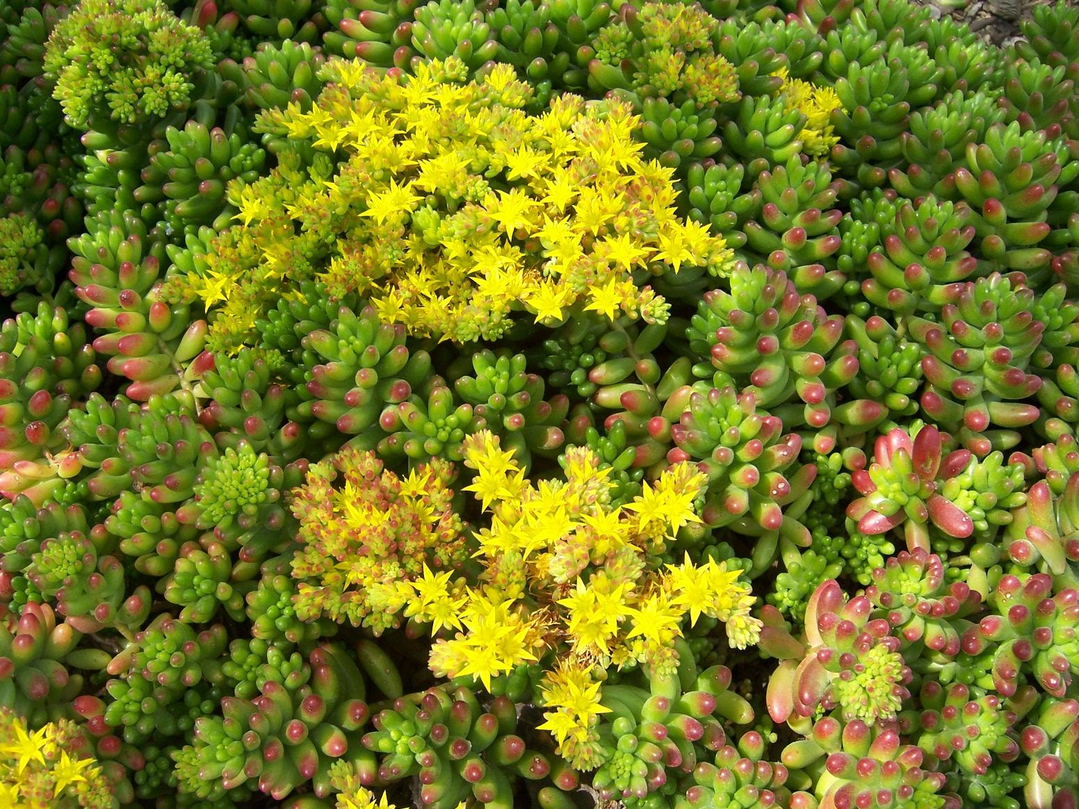 Photo Pork N Beans Sedum Rubrotinctum This Ground Cover Succulent