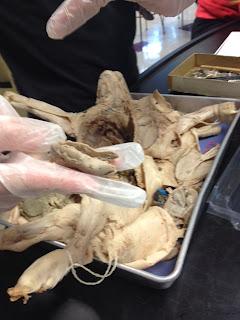 Fetal Pig Kidney
