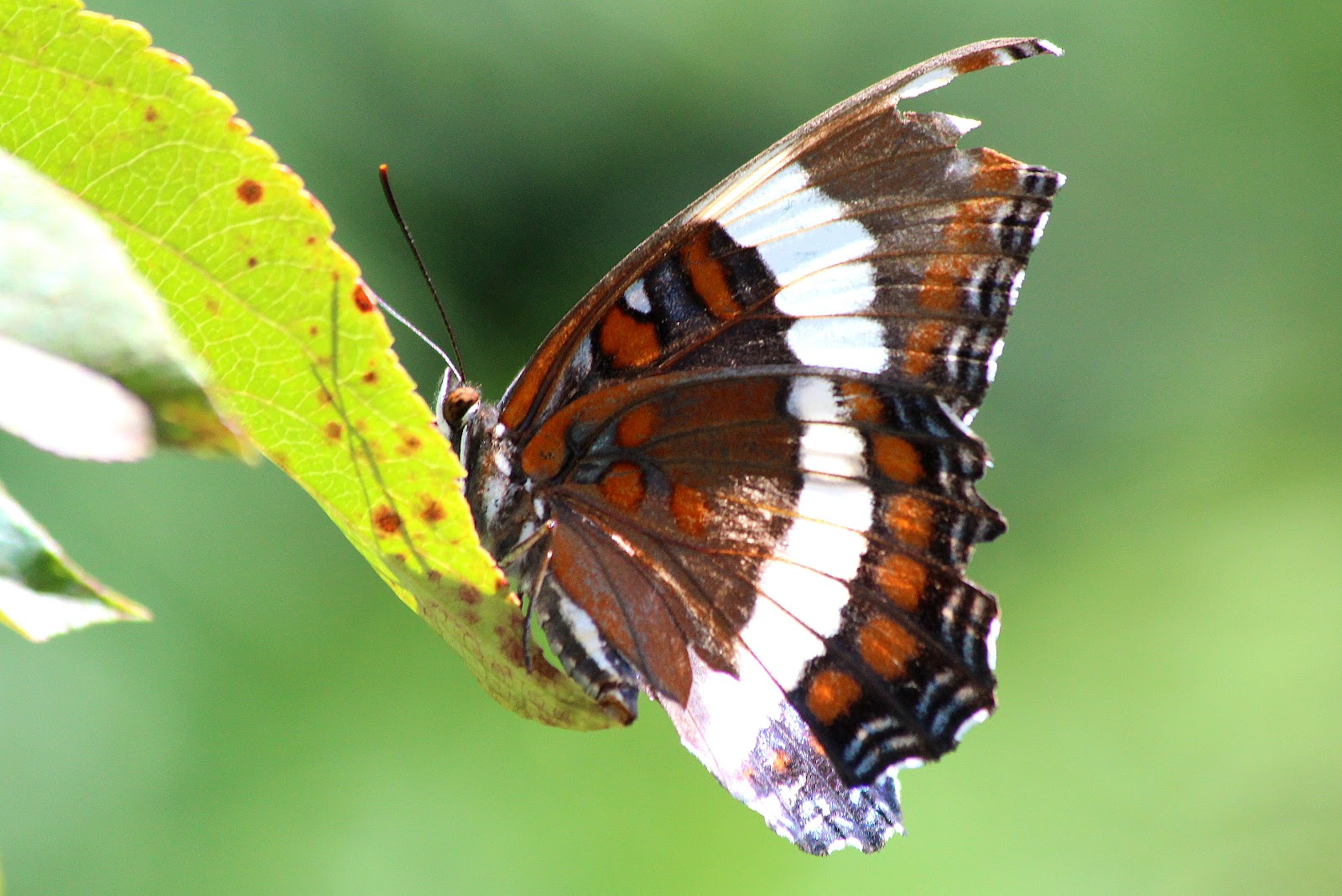 A butterfly perches on a birch leaf in the spring
