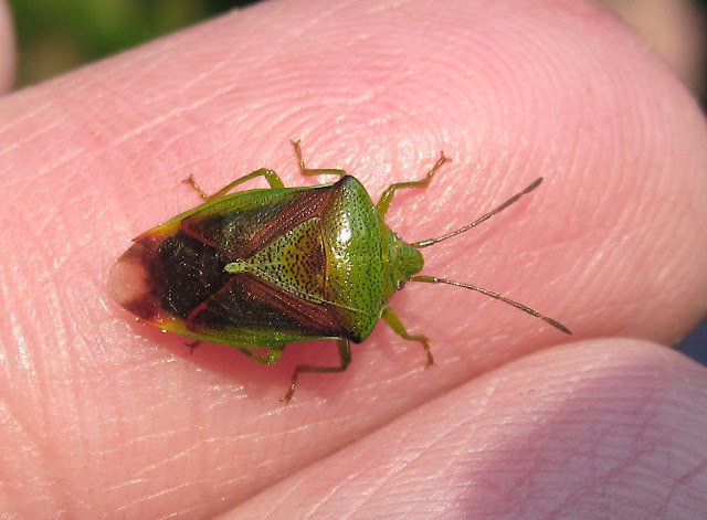 Hawthorn shield bug, Acanthosoma haemorrhoidale, found on a laurel leaf at High Elms Country Park, photographed on my finger. 1 May 2011.