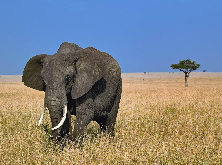 African Elephant  The Biggest Animals Kingdom