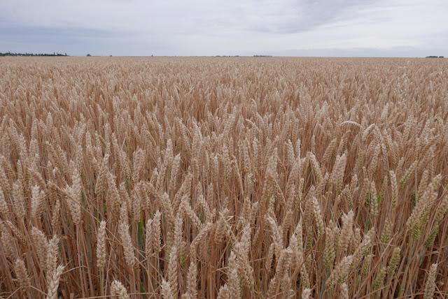 Panasonic LX100 Champ de blé