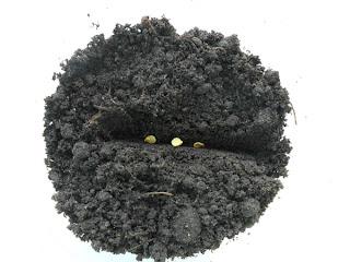 Посев перца