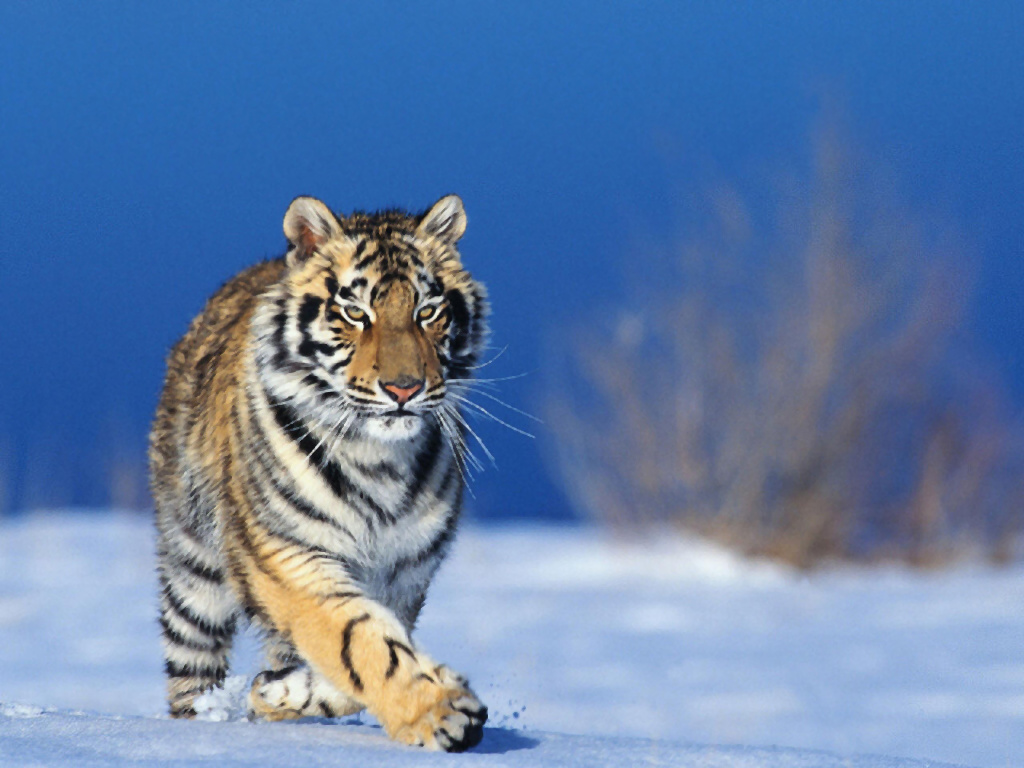 Running Tigers Fresh Hd Wallpapers 2013 Top Hd Animals Wallpapers