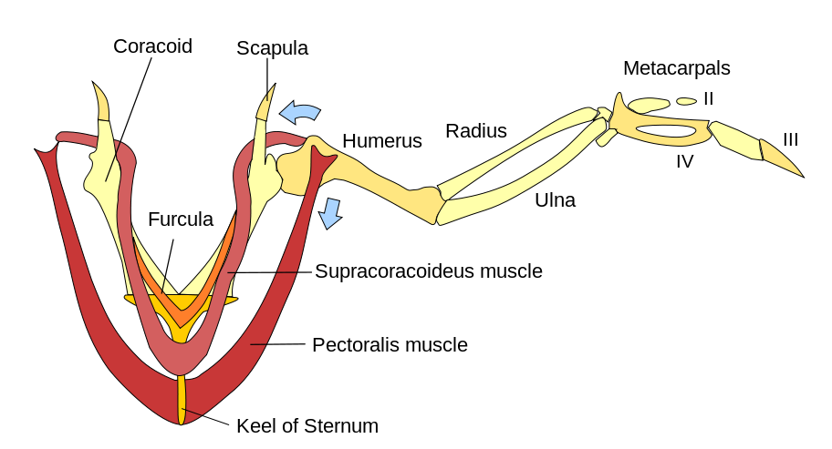 http://en.wikipedia.org/wiki/Bird_anatomy#mediaviewer/File:Wing_Muscles,_color.svg