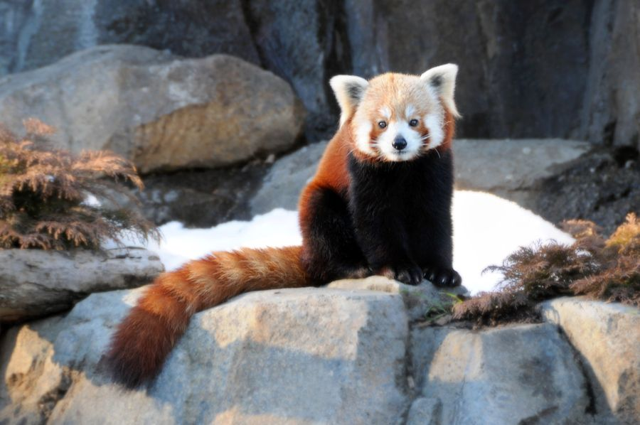 3. I'm the cutest red panda in the world... by Dalia Bseiso