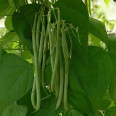 Haricots verts la ni oise blogs de cuisine - Comment cuisiner les haricots verts ...