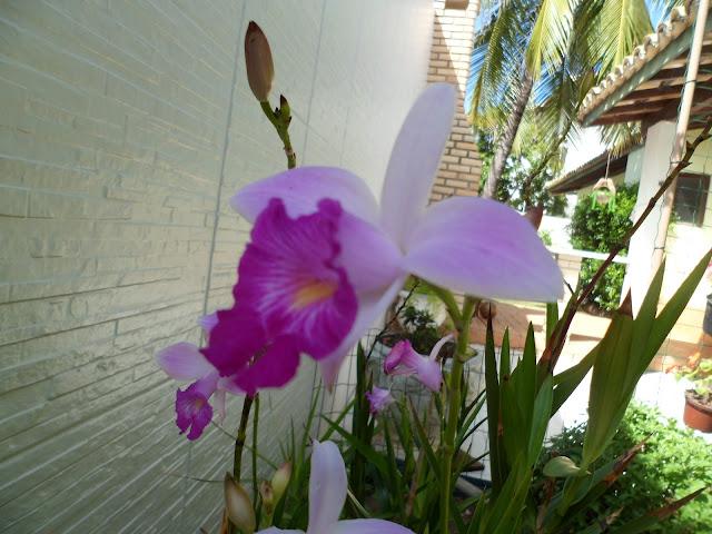 meu jardim - orquídea bambu