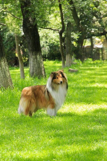 Top 5 Most Loyal Dog Breeds