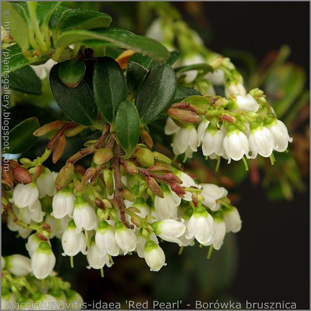 Vaccinium vitis-idaea 'Red Pearl' flowers - Borówka brusznica kwiaty