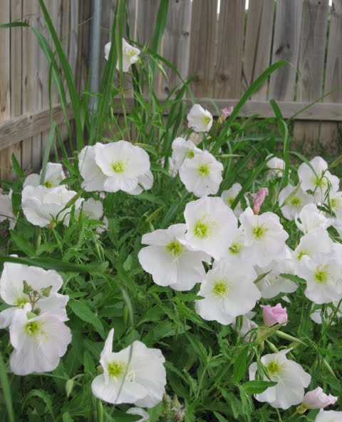 Primrose Wildflowers Photo