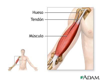 Educación Física en la Red: Huesos - ligamentos y músculos - tendones