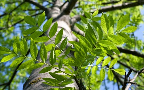Benefits Of Common Ash (Fraxinus Excelsior) For Health