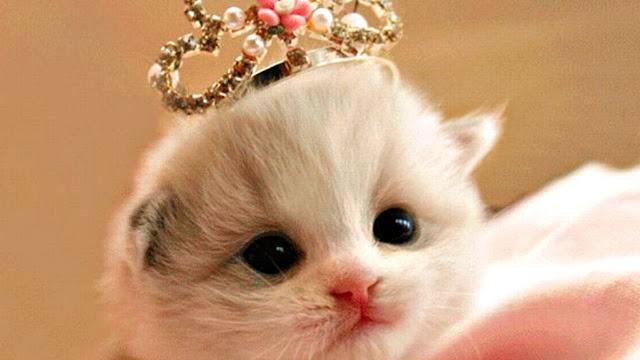Gambar 100 Wallpaper Kucing Lucu Comel Kualitas Hd Anggora