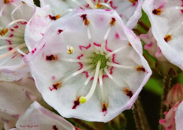 Mountain Laurel (Kalmia latifolia) blossom.