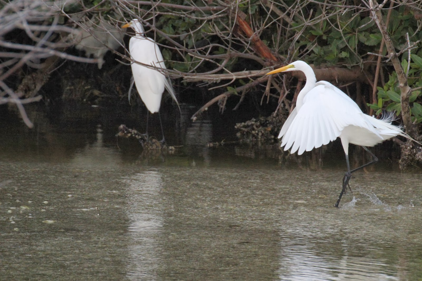 The Great White Egret in Europe: population increase and ...