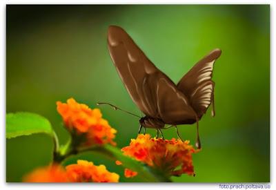 Шоколадный мотылёк