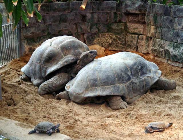 две гиганские черепахи
