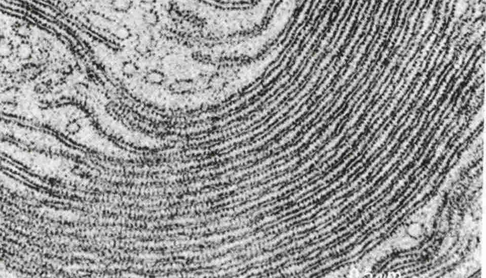 Imagen del reticulo endoplasmatico rugoso