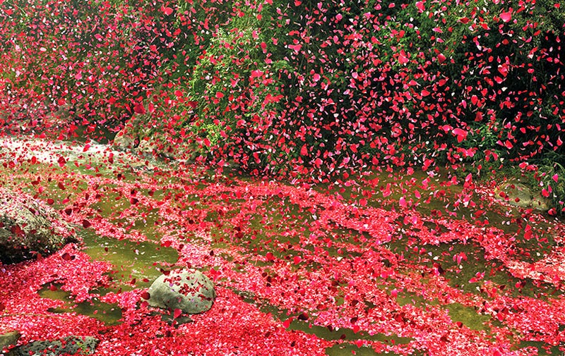 erupción de un volcán que expulsa pétalos de rosa