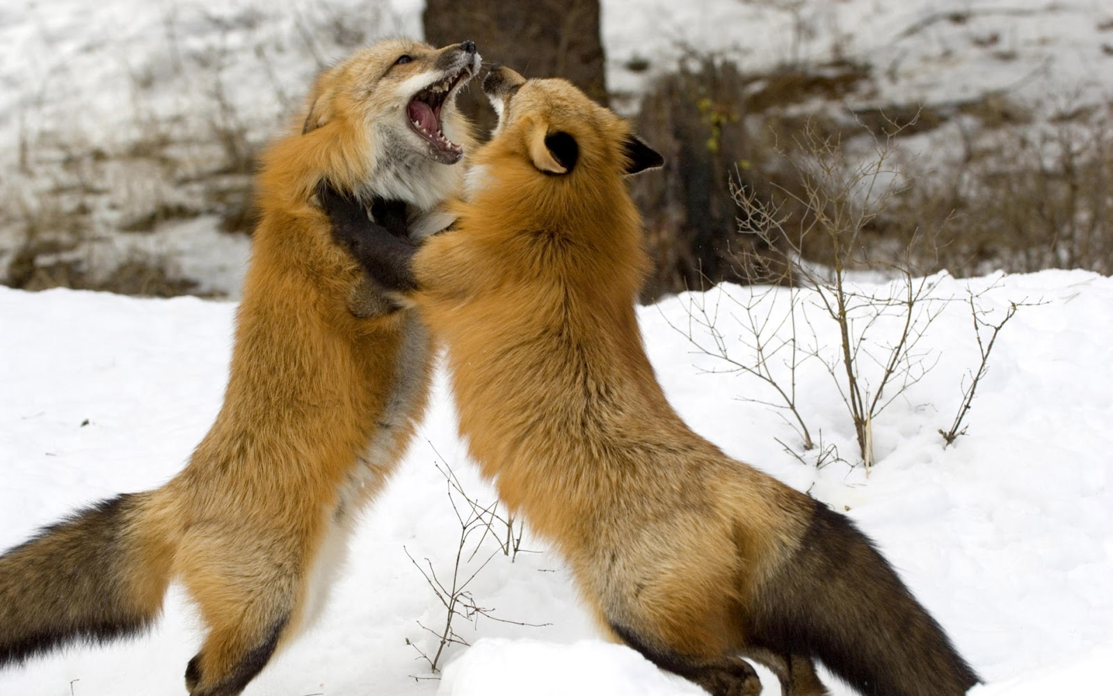 Hilarious Animal Fights Lion Tiger Funny Gallery Pic