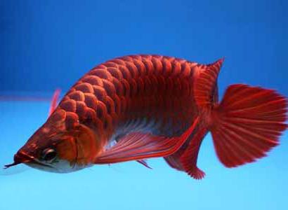8 Ikan Arwana Mahal di Indonesia