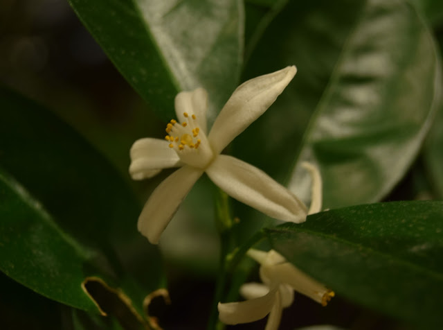 Citrus i blom