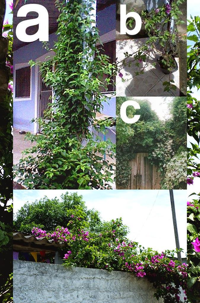 Crescimento Bougainvillea/Primavera em um ano