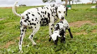 Wow, Anak Kambing Ini Mirip Anjing Dalmation [ www.BlogApaAja.com ]