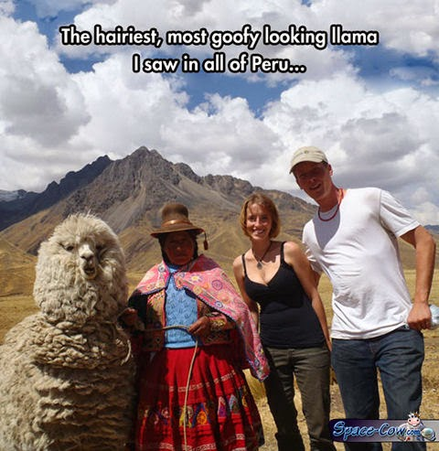 funny animals llama picture