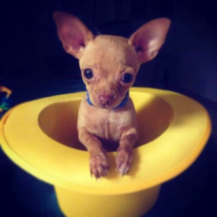 Pictures Of Baby Teacup Chihuahuas