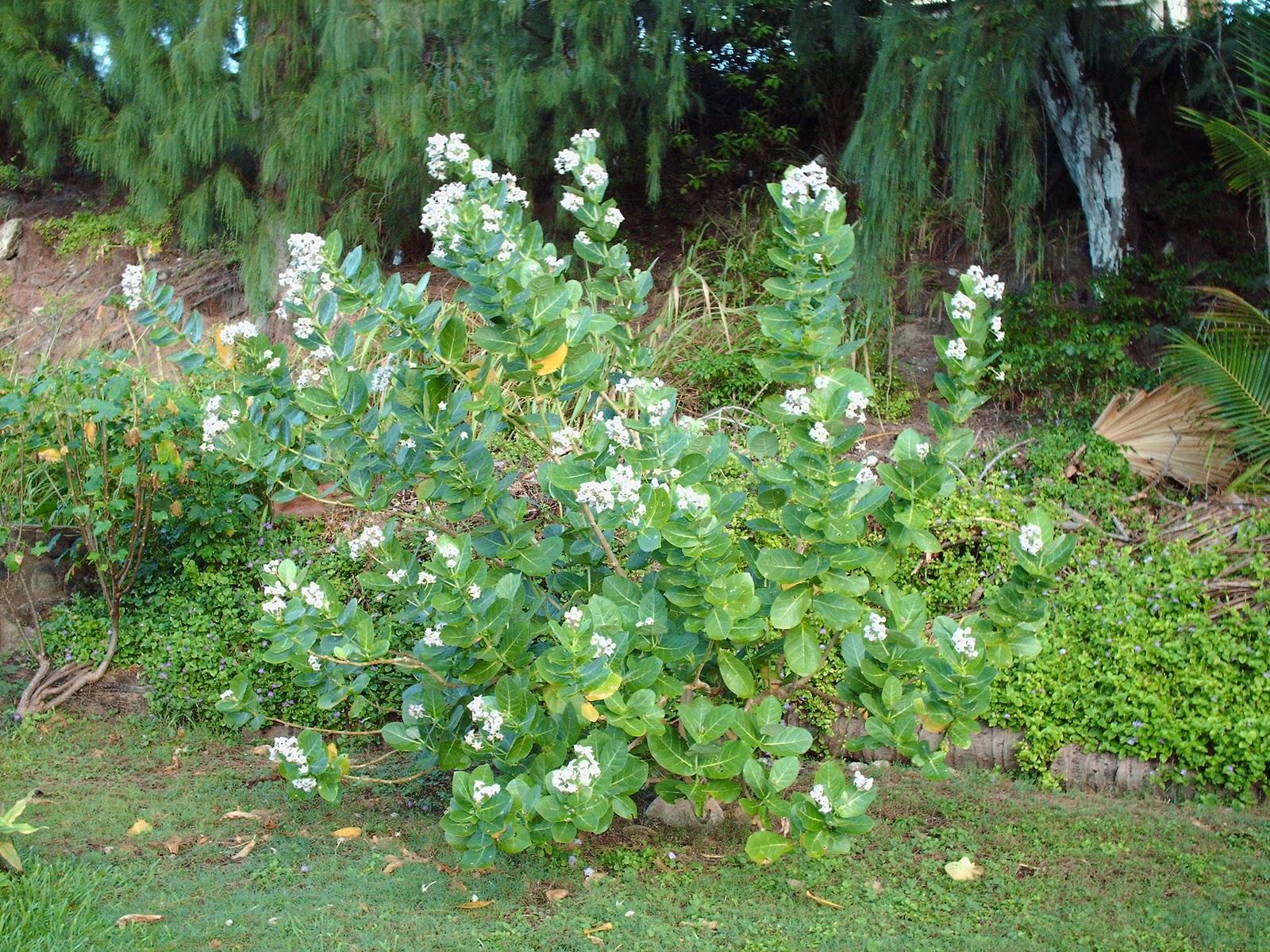 Garden Notes From Hawaii Crown Flower Calotropis Gigantea