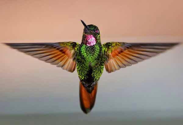 Foto Burung Kolibri Delima Terbaik