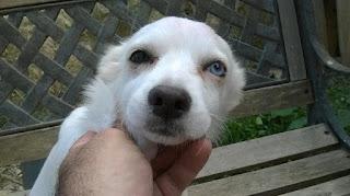 Βρέθηκε θηλυκό κοκονάκι 5 μηνών με ένα ματάκι μπλε στο Ηράκλειο Κρήτης. Την ψάχνει κανείς?