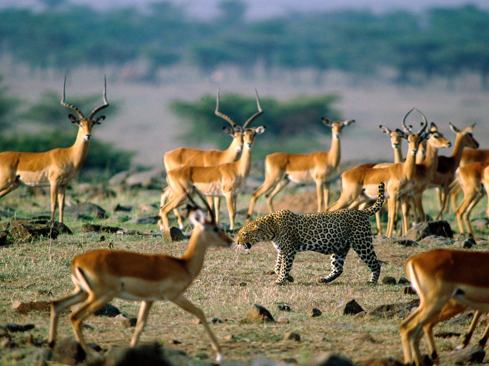 Afrika - Page 15 Leopard_impalas+1600x1200