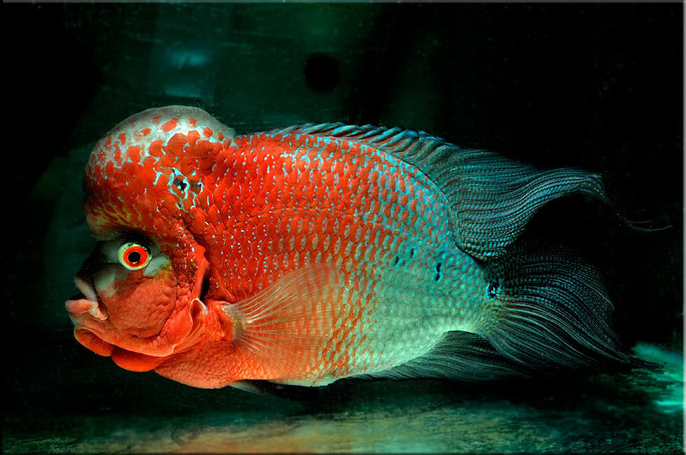 Flowerhorn The Hybrid Cichlids: What make a Flowerhorn a Red Dragon