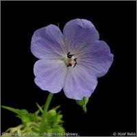 Geranium pratense    flower  - Bodziszek łąkowy