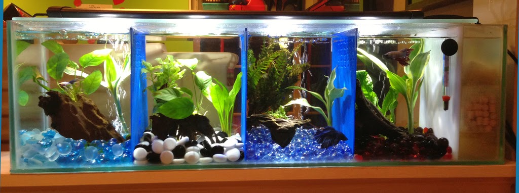 All about betta fish: Partitioned Betta fish tank