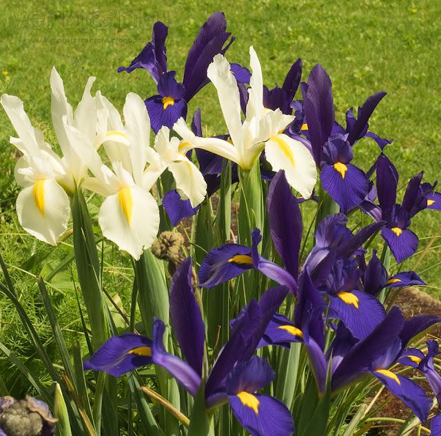 iris bianchi e viola