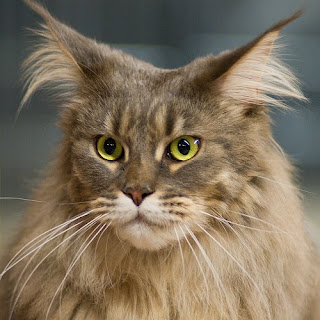 maine coon cats kitten pussycat gato macska breeds picture animal pets