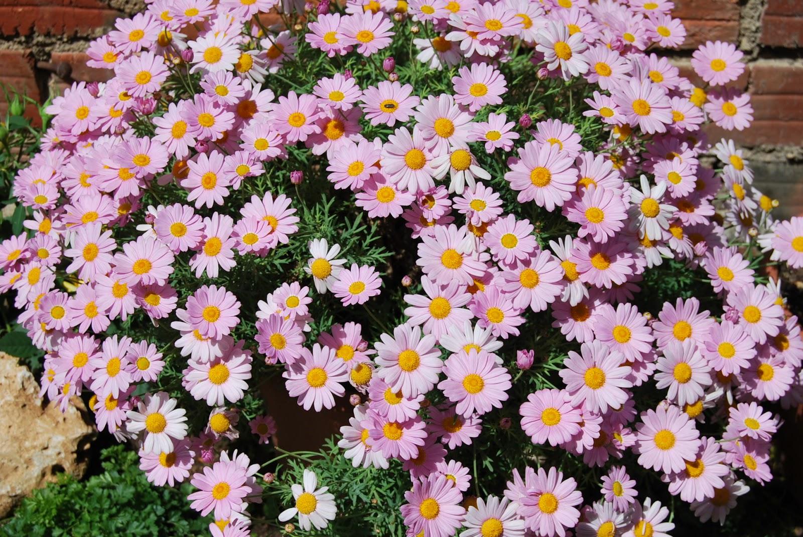 Fotos de flores: MARGARITA ROSA