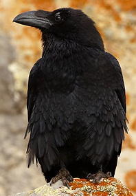 Ave Cuervo